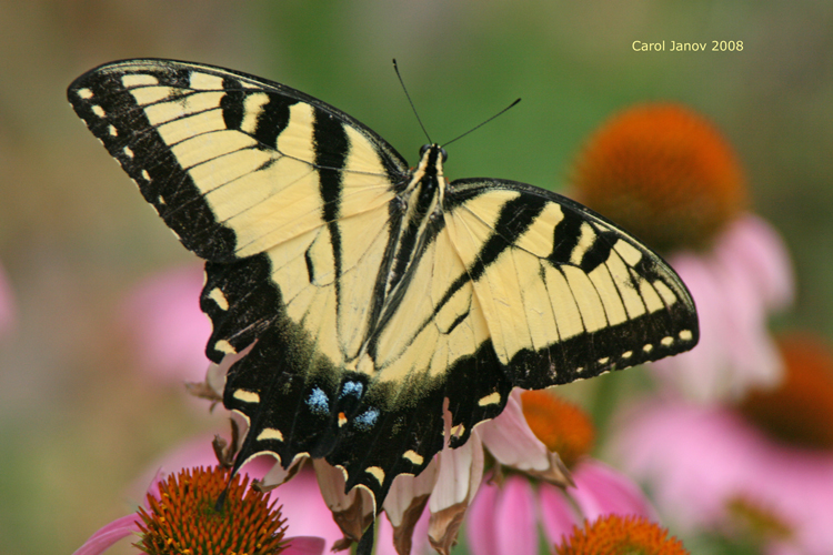 Western Tiger Swallowtail Dorsal View