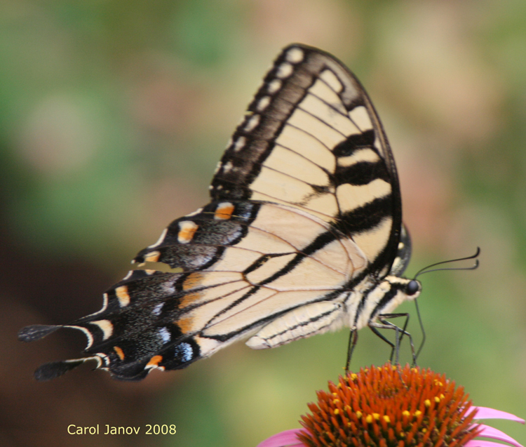 Western Tiger Swallowtail From Side