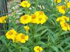 Mexican Mint Marigold Photo