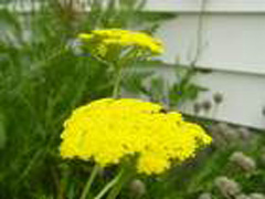 Yellow Yarrow Photo